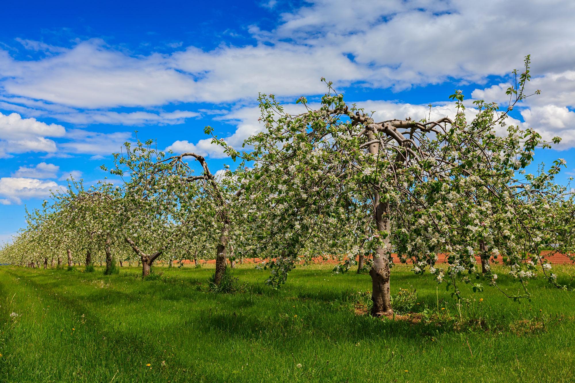 June Apple Blossoms