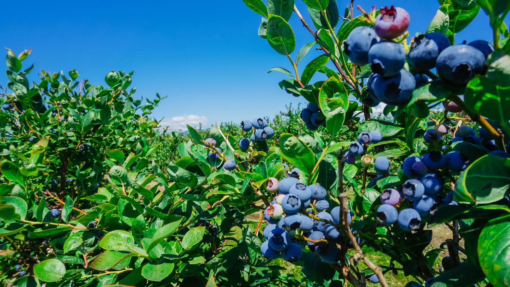 July Blueberry Harvest